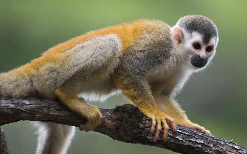 El mono ardilla es un primate diurno y arbóreo, que vive en grandes grupos