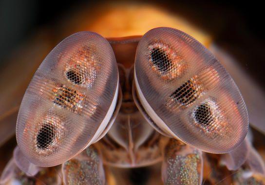 La visión del camarón mantis es extraordinaria, tanto en términos de su visión del color como de su capacidad para ver la polarización de la luz.