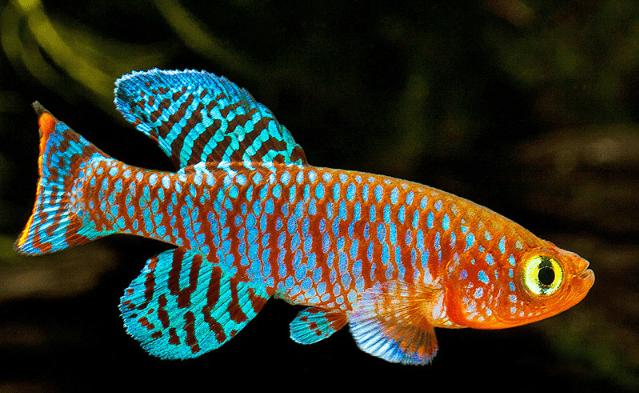 Los peces killis son muy pequeño ya que tan sólo llega a medir entre 3 y 7 centímetro de largo y en algunas ocasiones puede darse el caso de que alcancen los 10 centímetros de largo, pero esto dependerá del ambiente en el cual se desarrolle el pez.