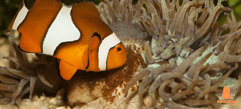 El pez payaso es un pez carnívoro y necesita alimentación a base de pellets específicos para él. Además del alimento que le proporcionará su anémona, un pez payaso suele alimentarse de pequeños crustáceos como gambas, calamares y mejillones
