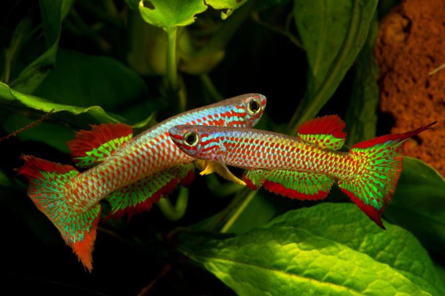 Estos peces son insectívoros. Deben tener una alimentación muy variada, les gusta alimentarse un par de veces al día con alimento vivo, como puede ser larvas, insectos, mosquitos,