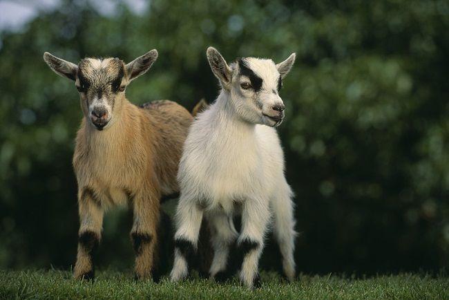 cabras enanas africanas