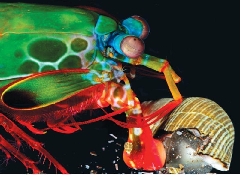 camaron mantis o langosta boxeadora