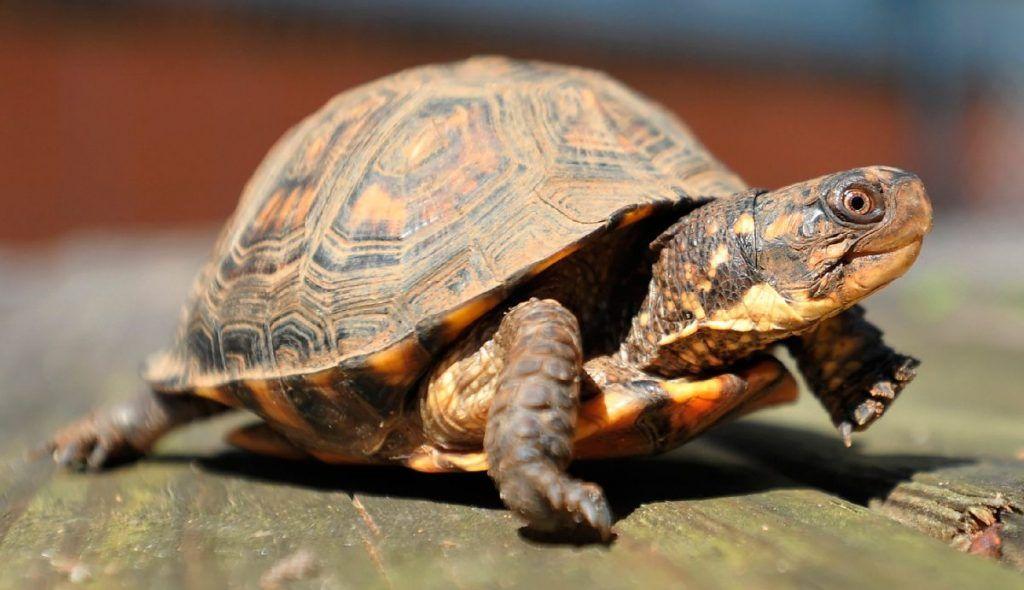 Una tortuga de caja tiene una cáscara de alta cúpula con los pies no palmeados. El diseño de protección de la carcasa ofrece a la tortuga de caja una protección adicional de los depredadores potenciales. Esta tortuga puede medir de hasta 6 pulgadas de largo cuando están bien desarrollados y vive hasta 80 años. Sólo debe comprar una tortuga de caja que ha sido criada y crecida en cautiverio. Preste mucha atención a su cuidado, y usted podría tener su tortuga mascota para toda la vida.