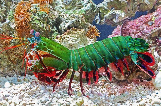Camaron mantis con varios colores