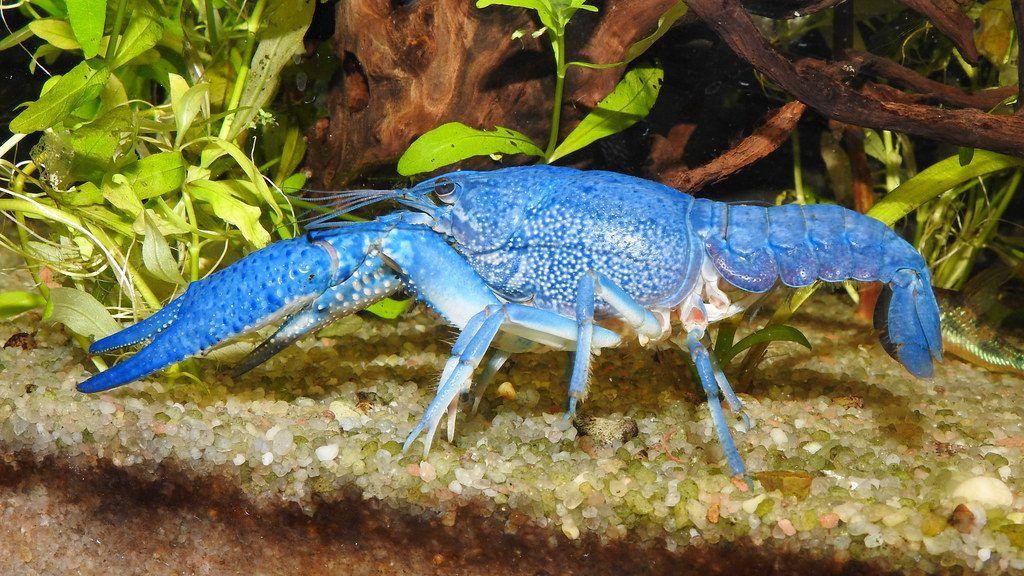 langosta azul en acuario