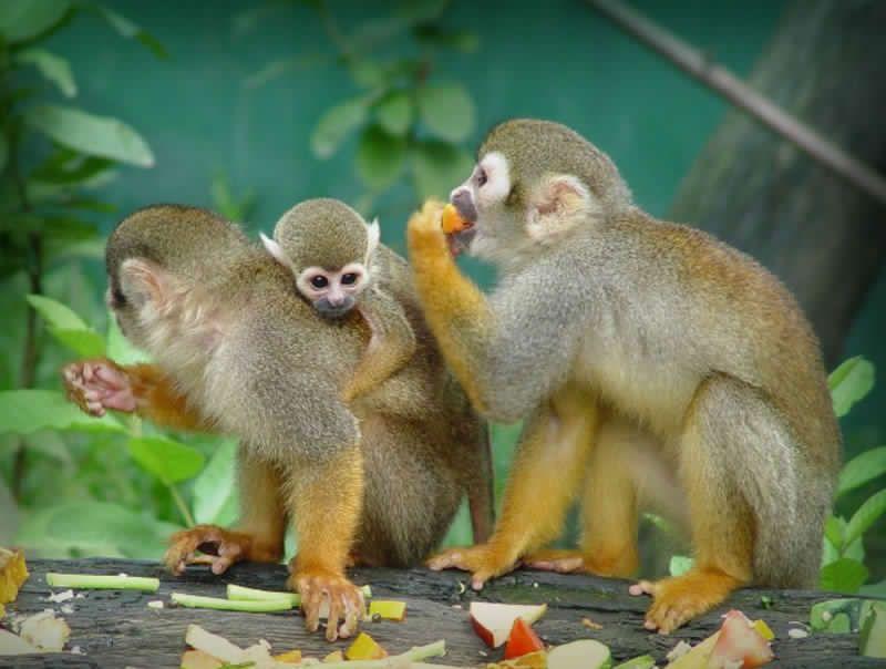 Todos los mono ardilla o Saimiri o  poseen un sistema polígamo de apareamiento, sin embargo, uno o dos machos copulan con mayor frecuencia que los demás miembros del grupo.