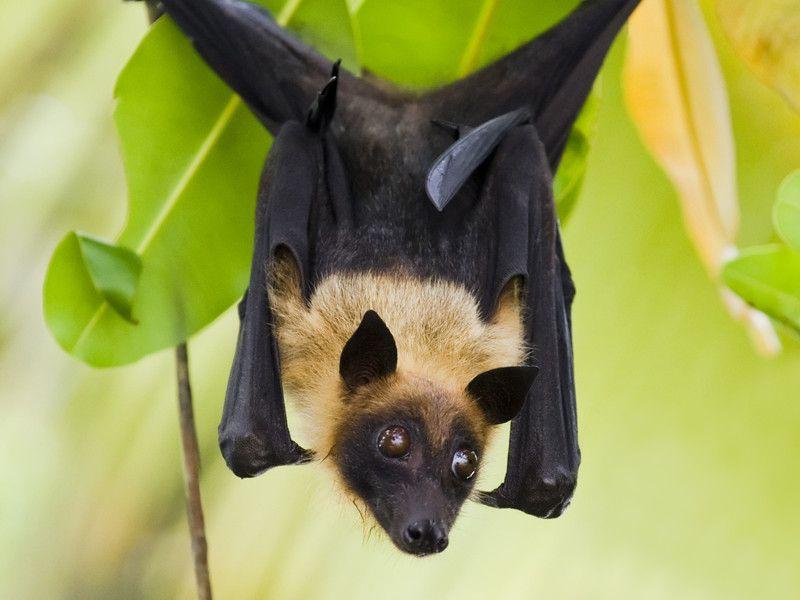 Murciélago de la fruta colgando de un árbol