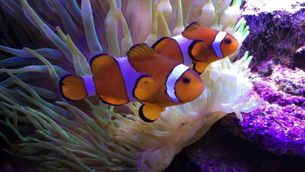 El pez payaso vive en las anémonas porque ha establecido una relación de mutualismo, es decir, una relación en la que ambas partes salen beneficiadas. Cada especie de pez payaso tiene predilección por una o varias especies de anémonas en particular.