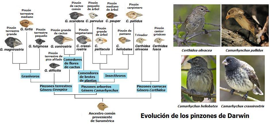 El pinzón de Darwin es un ave pequeña de diferentes formas y tamaños, pudiendo llegar a alcanzar los 16 centímetros desde el pico hasta la cola, su pico tiene diferentes tamaños