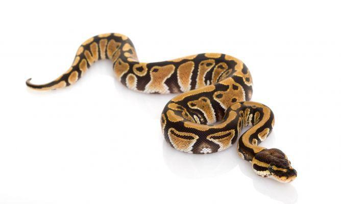 Serpiente domestica de pitón real de color amarillo y cafe