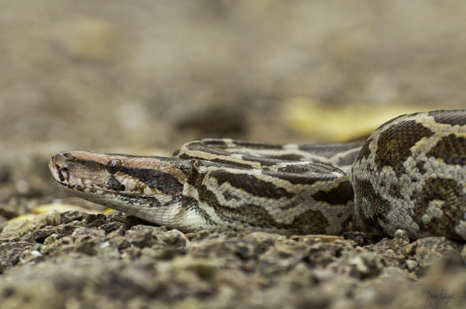 serpiente o culebra domestica en el piso de color blanco , plomo y negro