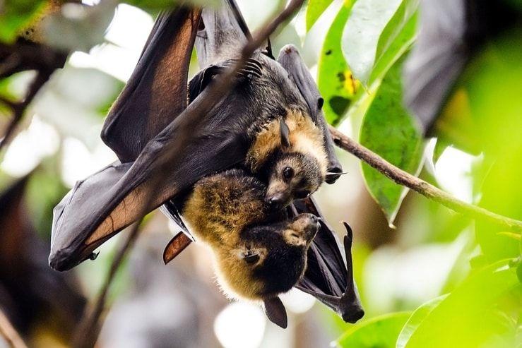 Zorros voladores abrazando su cría