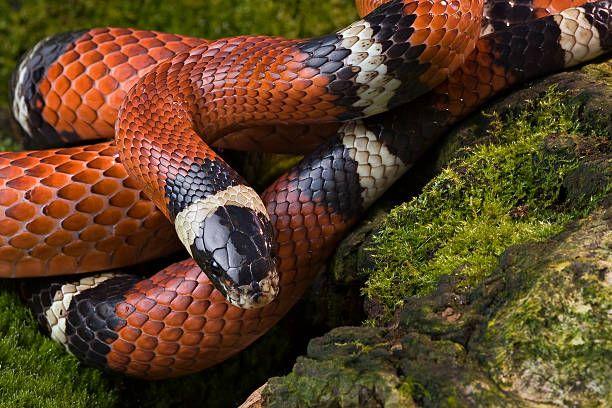 serpiente domestica de color roja, blanco y negro enrollada en una roca