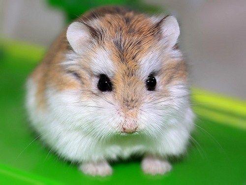 El hámster de Roborowski es el más pequeño del mundo, son rápidos, ágiles y miden alrededor de un cuarto del tamaño de un hámster sirio y probablemente cerca de una manzana pequeña.