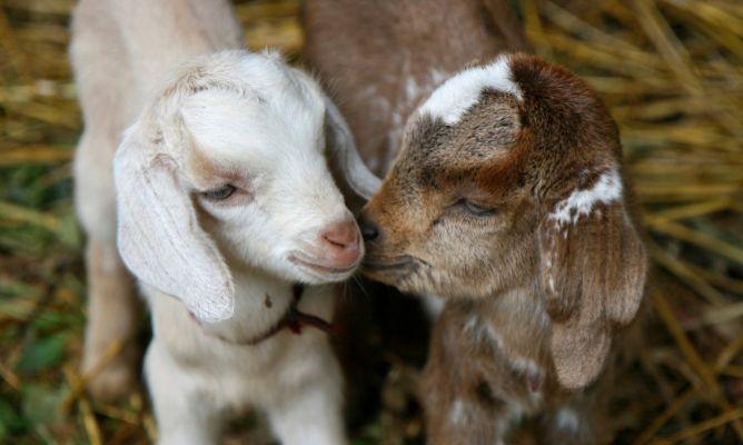 pareja de cabra enana africana