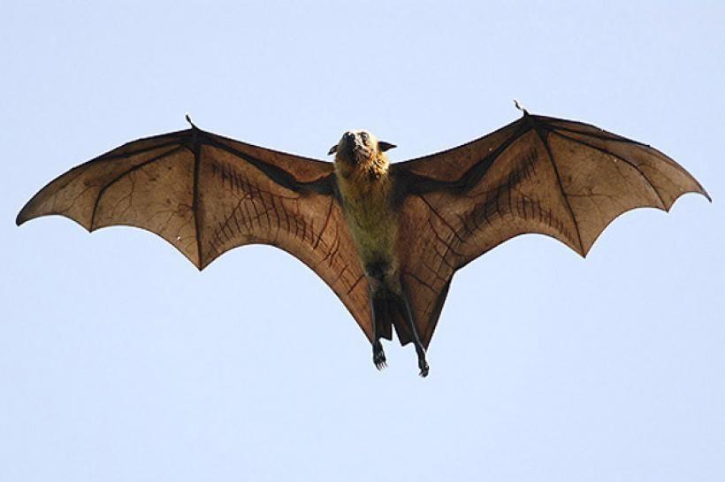 El murciélago de la fruta con sus alas abiertas