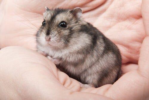Un hámster ruso luce como un hámster enano, pero su pelaje es menos lanudo que los últimos. El hámster enano ruso  es también conocido como el hámster siberiano o el hámster enano siberiano