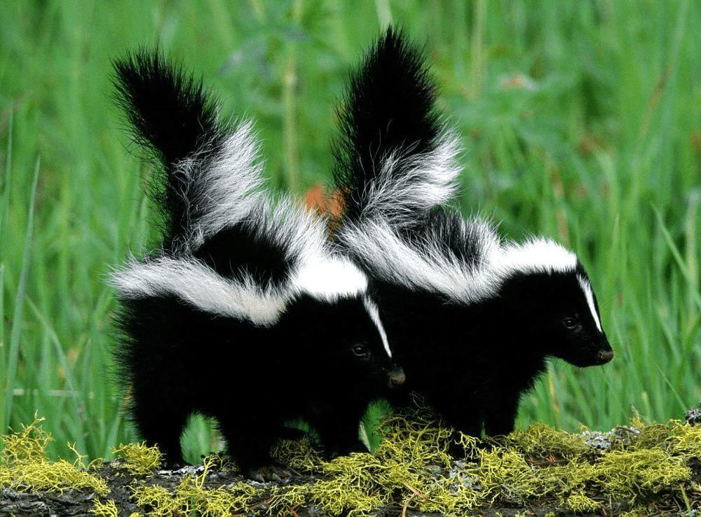 Una vez destetados, los zorrillos jóvenes seguirán a su madre en una sola fila y aprenderán a buscar y cazar