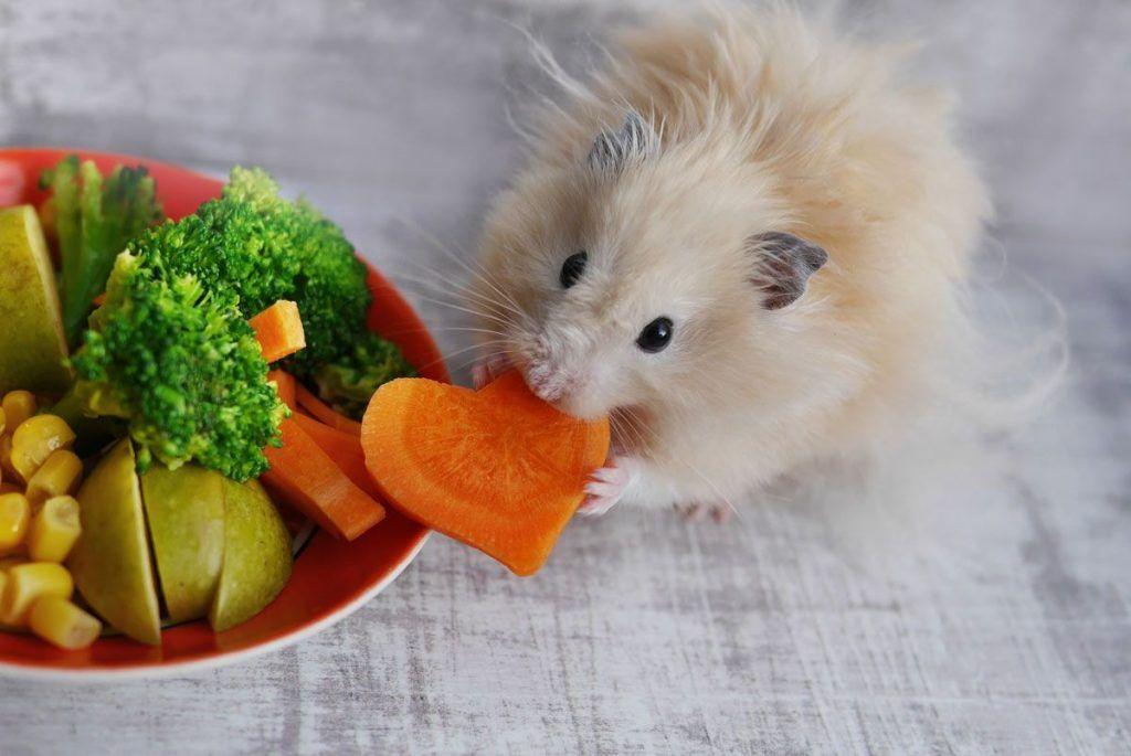 A los hámsters les gusta comer semillas, granos, nueces, maíz, frutas y vegetales. La dieta de un hámster cautivo debe ser al menos de 16 % de proteínas y 5 % grasas.