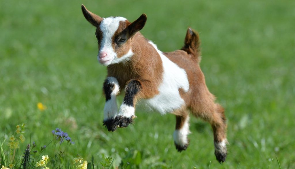 Cabra enana saltando sobre el pasto verde