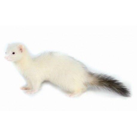 Hurón Albino