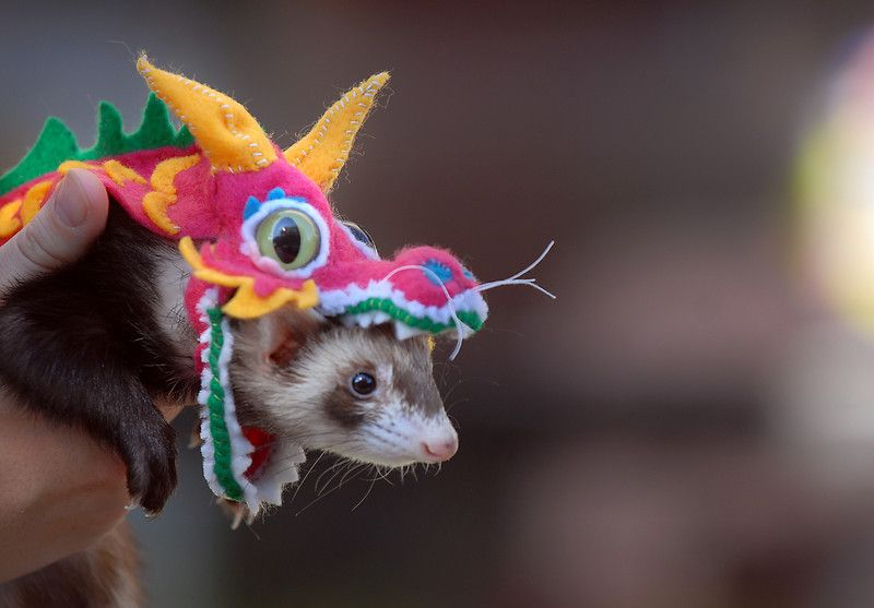 Hurón sombreros