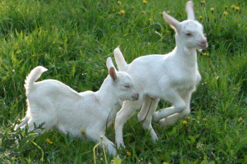 2 cabras enanas blancas jugando en el pasto verde