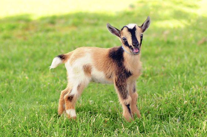 cría de cabra enana con el hocico abierto sobre el césped