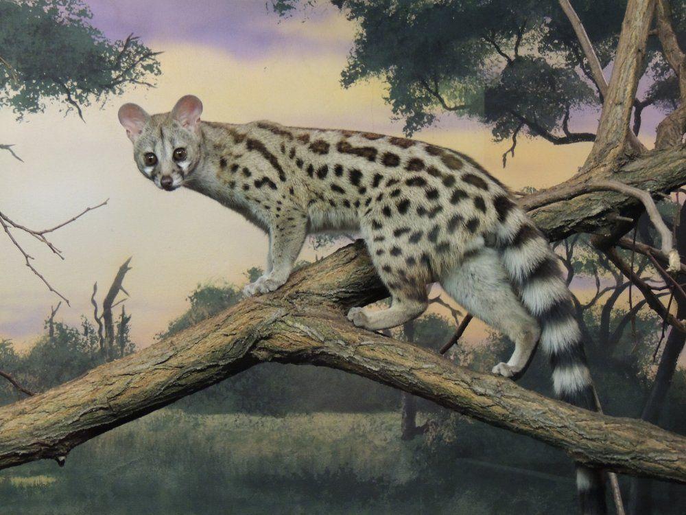 la cara puntiaguda de un hurón, las manchas de un guepardo y la cola de un lémur