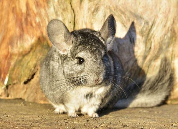 La chinchillas es un pequeños roedor nativo de América del Sur
