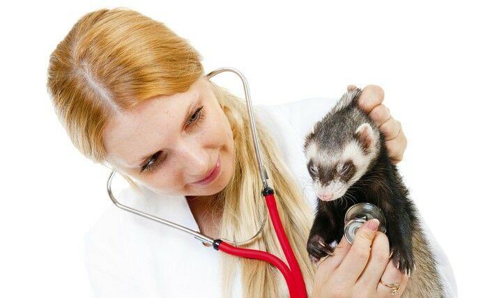 Hurones al veterinario