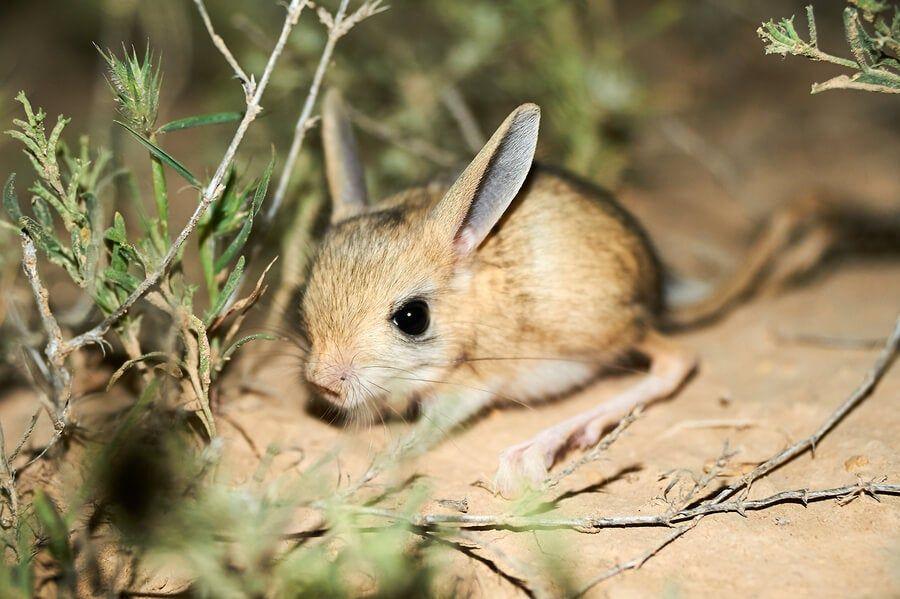 El jerbo de orejas largas tiene un cuerpo pequeño y compacto que mide entre 7 y 9 centímetros en edad adulta