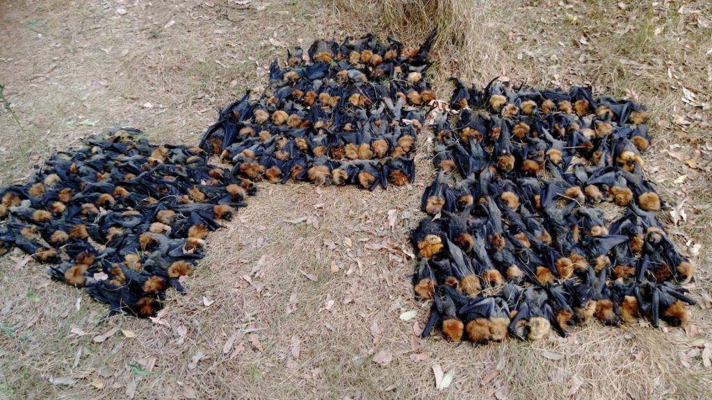 grupo de murcielagos de fruta muertos