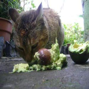 los gatos pueden comer aguacate