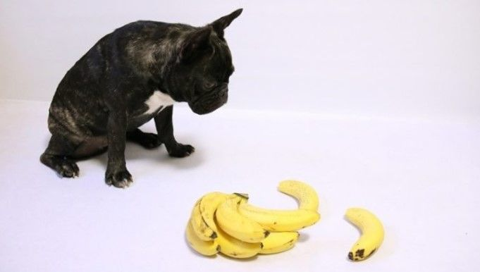 Perro negro mirando si puede comer platanos