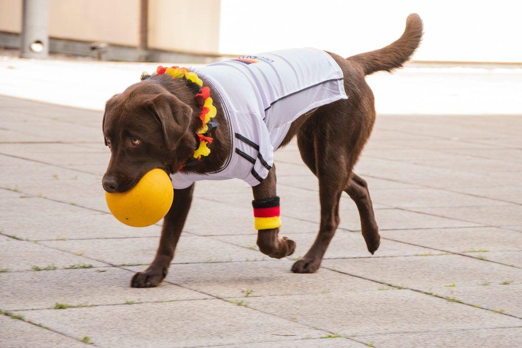 Perro labrador jugando con una pelota en el hocico y una camiseta blanca
