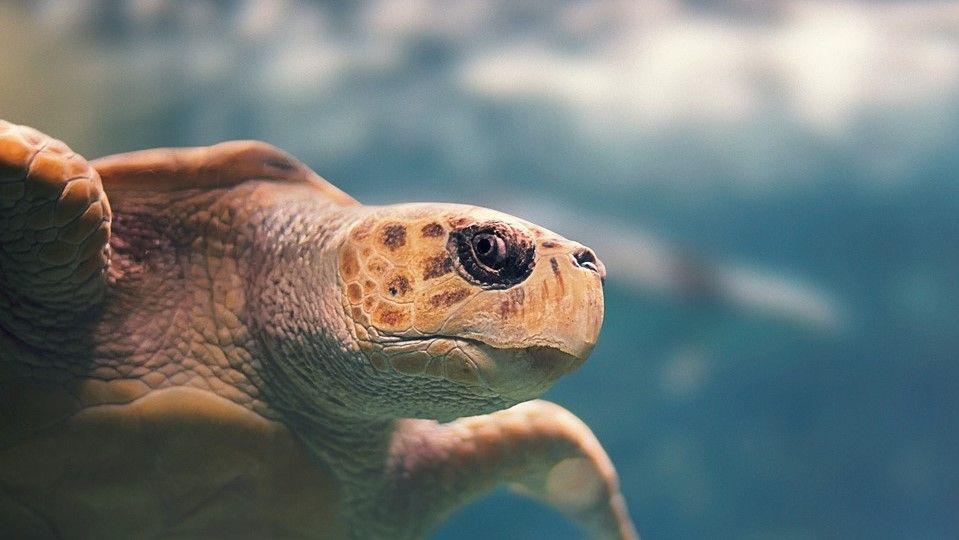 tortuga grande con ojos negros