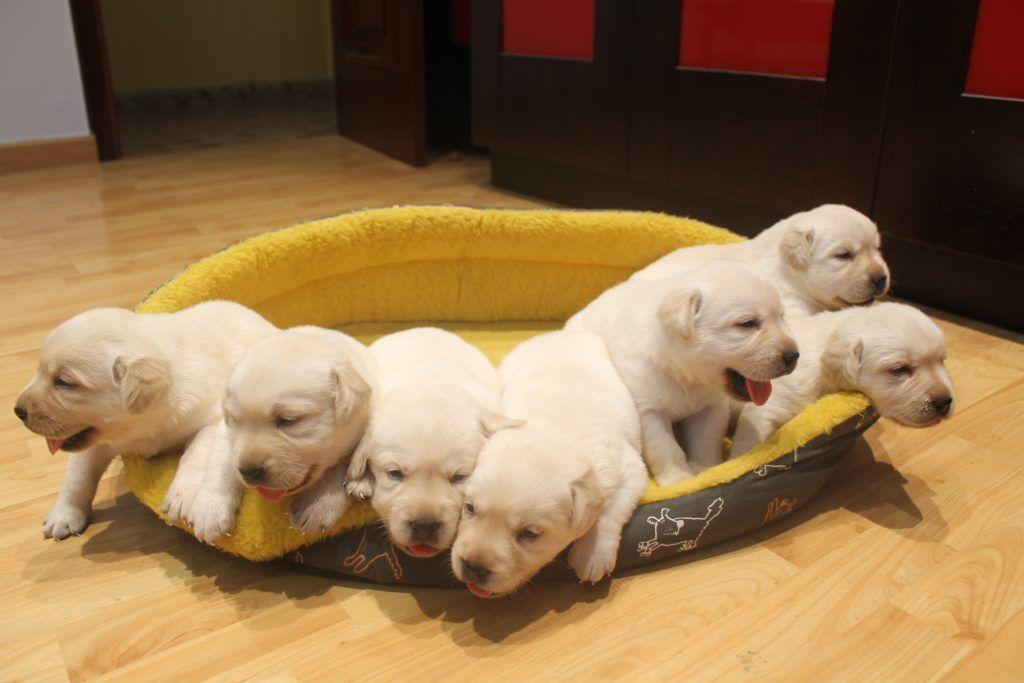 Perros labradores retriever cachorros