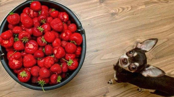 Perro chico mirando un plato de framnbuesas