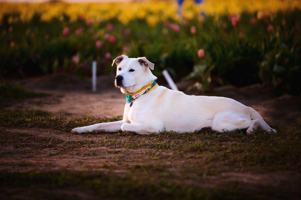 Perro labrador amarillo sentado en el pasto y con collar