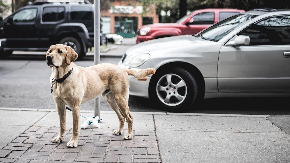 Perro labrador amarillo amarrado en poste en la ciudad