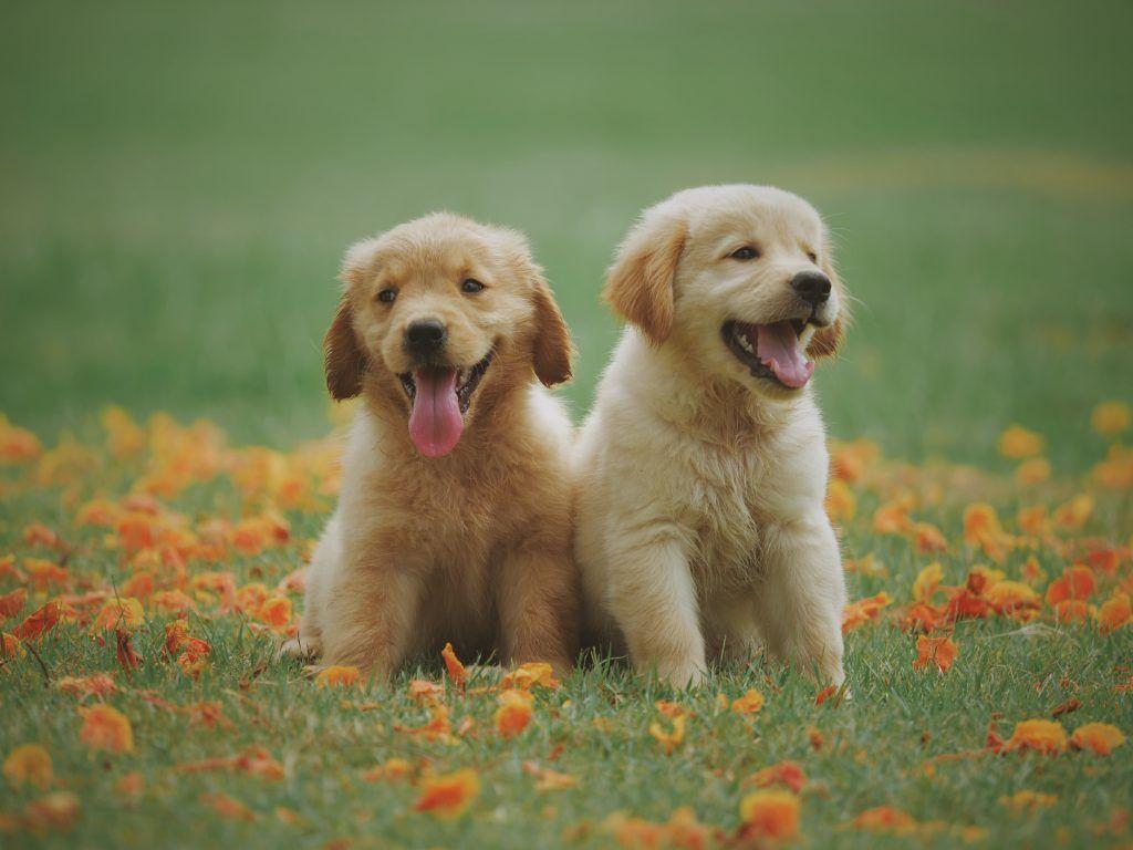 pareja de perros amarillos labradores en el pasto con flores