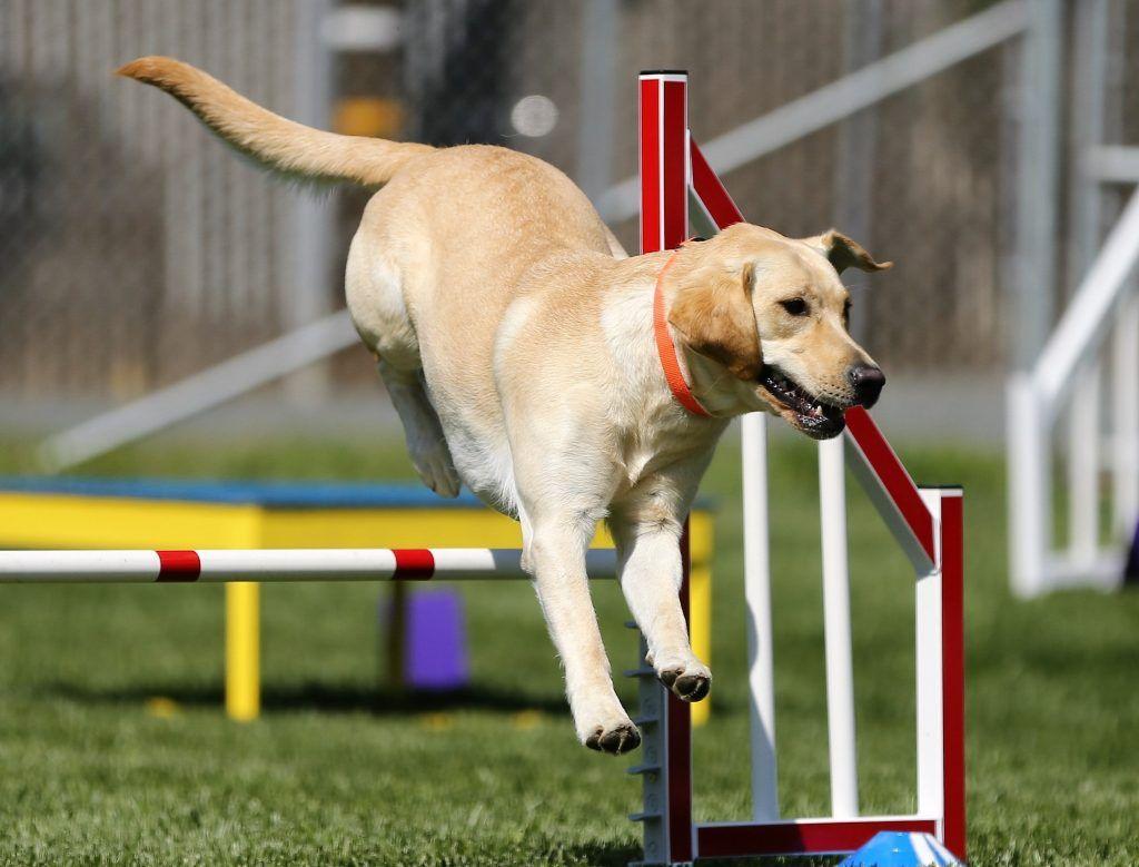 Perro labrador amarillo compitiendo en circuito de pruebas