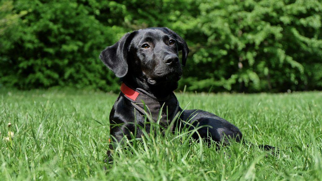 Perro labrador negro, sentado en el pasto verde