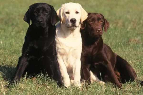 tres perros labradores de distintos colores, amarillo, chocolate y negro