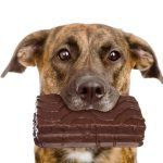los perros pueden comer chocolate