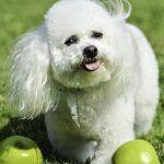 los perros pueden comer manzanas