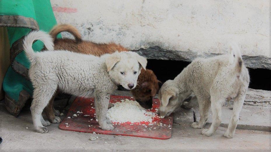 Tres perros cachorros comiendo arroz en el piso