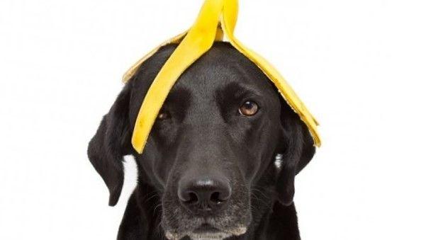 Perro comiendo cascaras de plátano